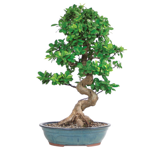 Large Size Grafted Ficus Bonsai Tree