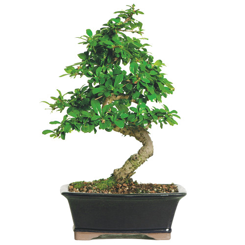 Fukien Tea - CT0116FT
