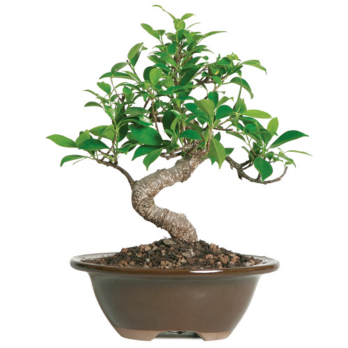 Golden Gate Ficus - CT2005GGF