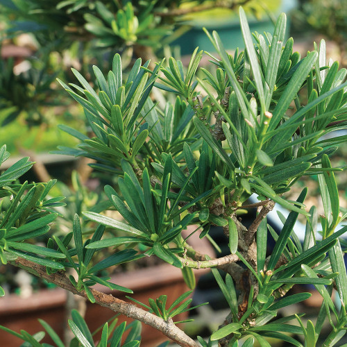 Medium Size Podocarpus Bonsai Tree Foliage View