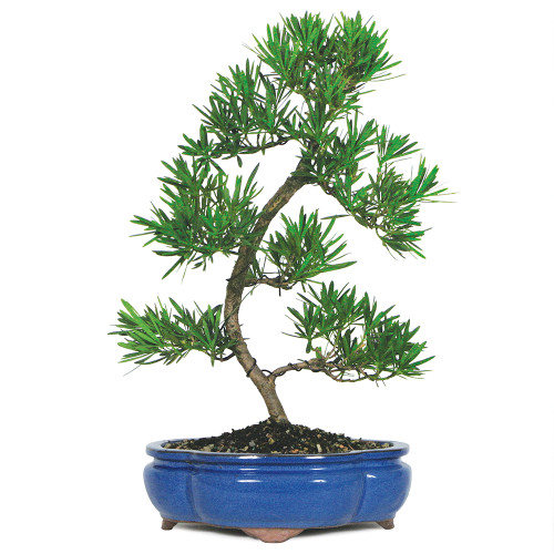 Large Size Podocarpus Bonsai Tree