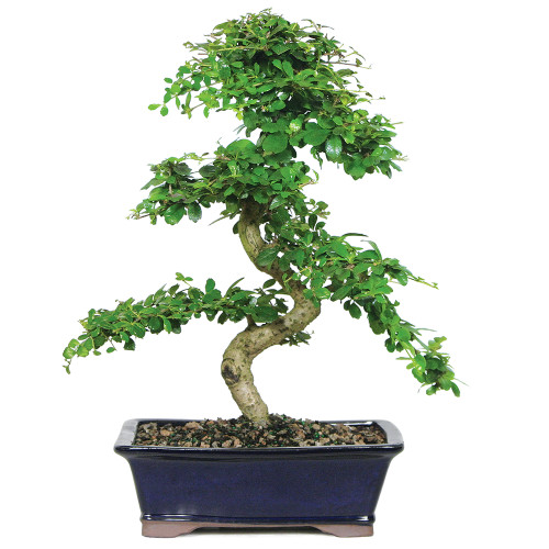 Fukien Tea - CT9002FT