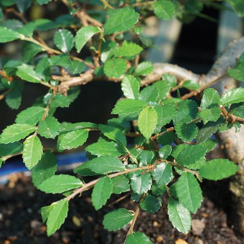 Medium Size Chinese Elm Bonsai Tree Foliage