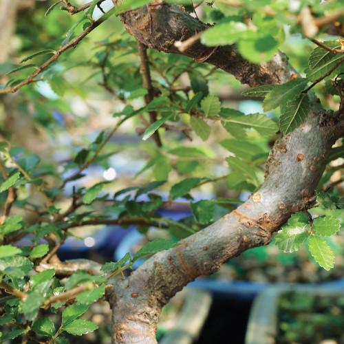 Medium Size Chinese Elm Bonsai Tree Trunk