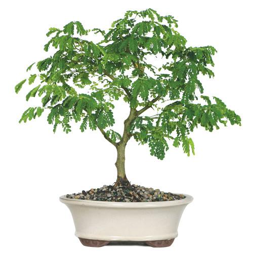 Brazilian Rain Tree - DT4022BRT