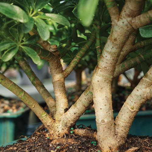 Large Size Hawaiian Umbrella Bonsai Tree Trunk View