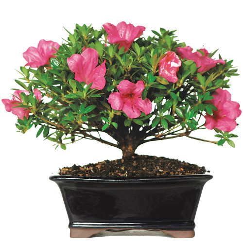 Medium Size Satsuki Azalea Bonsai Tree