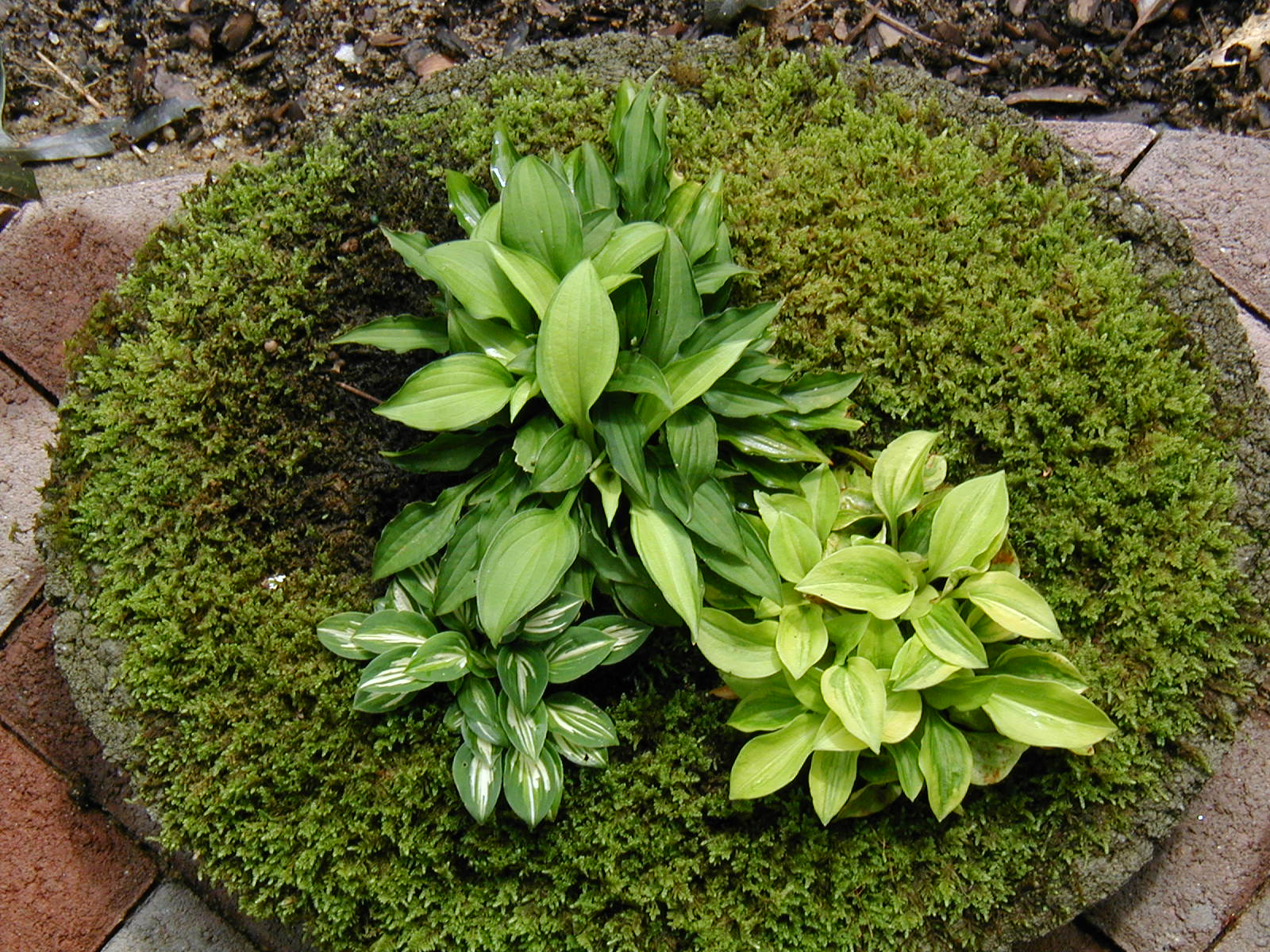 Miniature hostas grown in a container