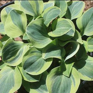 Hosta School Mouse is a yellow edged blue mouse ears.