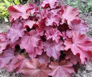 "Heuchera 'Carmencita' PPAF  12"" Tall X 14"" Wide"