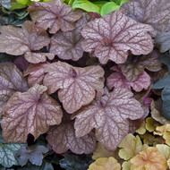 Coral Bells 'Beaujolais' Mid to Late Season Color