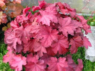 "Heuchera 'Magma' PPAF - 24"" Tall X 36"" Wide"