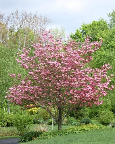 Pink flowering dogwood greenbee landscape pink flowering dogwood mightylinksfo