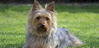 Australian Silky Terrier Mug & Coaster Set
