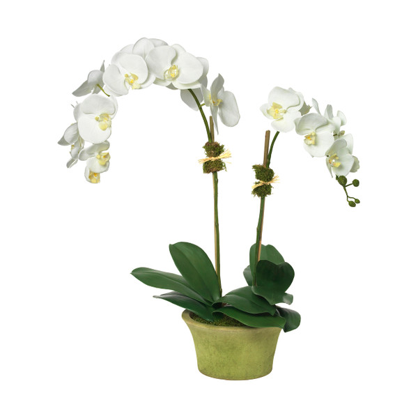 Diane James Home Magnificent Moth Orchid
