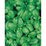 Basil Sweet - Organic