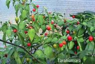 Chiltepin Tarahumara Chilli Image, Chillies on the Web
