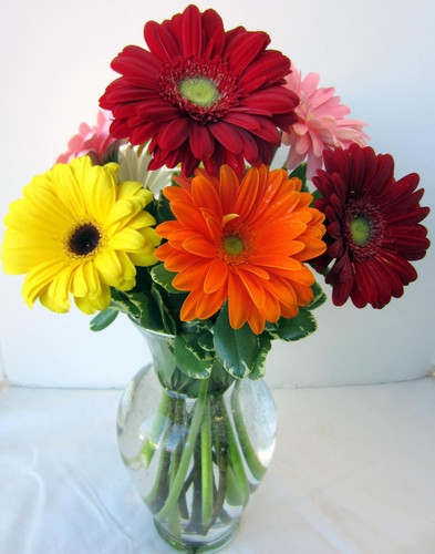 Cheery Gerbera