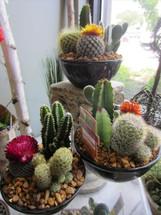 Cactus Garden (Premium)