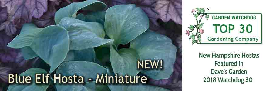 Blue Elf Hosta - a new miniature hosta for 2018