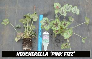 heucherella-pink-fizz-plug.png