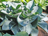 Wishing Well Hosta - 65mm Starter Plug