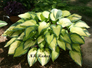 'Orange Marmalade' Hosta From NH Hostas