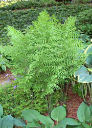 American Royal Fern