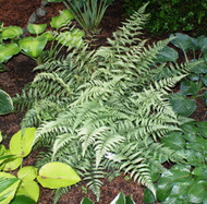 'Branford Beauty' Painted Fern From NH Hostas