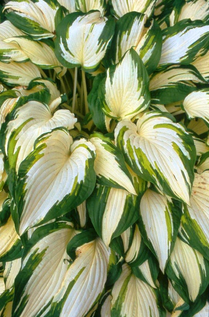 White elephant hosta shade perennial large hosta plant white elephant hosta courtesy of green hill farm mightylinksfo