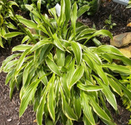 Long Fellow Hosta - 4.5 Inch Container