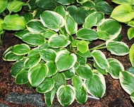 Diana Remembered Hosta - 4.5 Inch Container