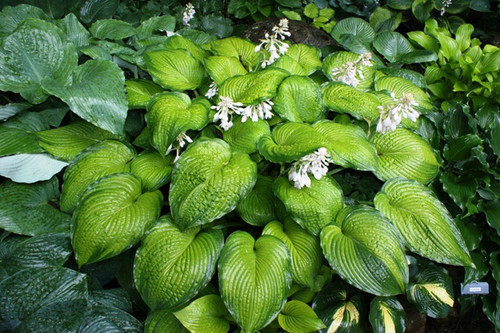 New Hampshire Hostas
