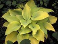 'May' Hosta Courtesy of Shady Oaks Nursery