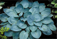 Prairie Sky Hosta PP17309 - 4.5 Inch Container