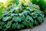 'Frances Williams' Hosta Courtesy of Walters Gardens
