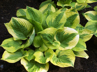 'Summer Breeze' Hosta From NH Hostas