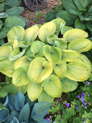 'Golden Friendship' Hosta Courtesy of Sherri Brown