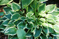 Winsome Hosta - 3 Inch Container