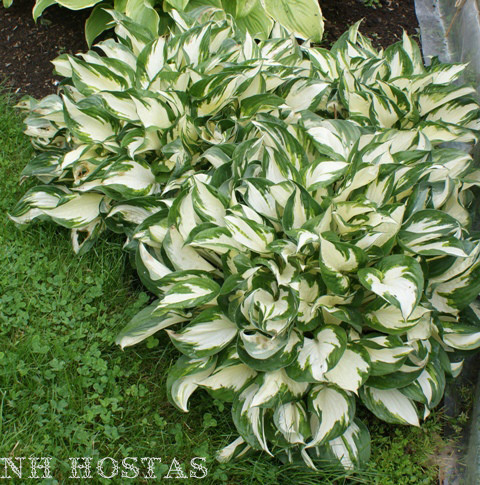 Fire and ice hosta shade perennial sun tolerant hosta plant mightylinksfo