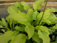 Yellow Boa Hosta - 3 Inch Container