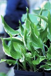 Bachelor Party Hosta - 4.5 Inch Container