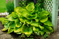 'Sum and Substance' Hosta Courtesy of Walters Gardens