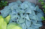 'Fragrant Blue' Hosta