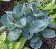 Love Pat Hosta - 4.5 Inch Container