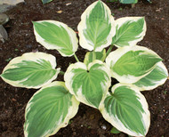 Blazing Saddles Hosta - 4.5 Inch Container