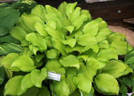 'Hoosier Harmony' Hosta From NH Hostas