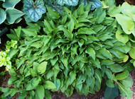 'Lemon Delight' Hosta From NH Hostas
