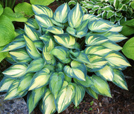 June Hosta - 35mm Starter Plug
