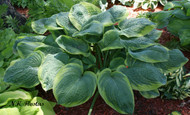 Rain Dancer Hosta - 4.5 Inch Container